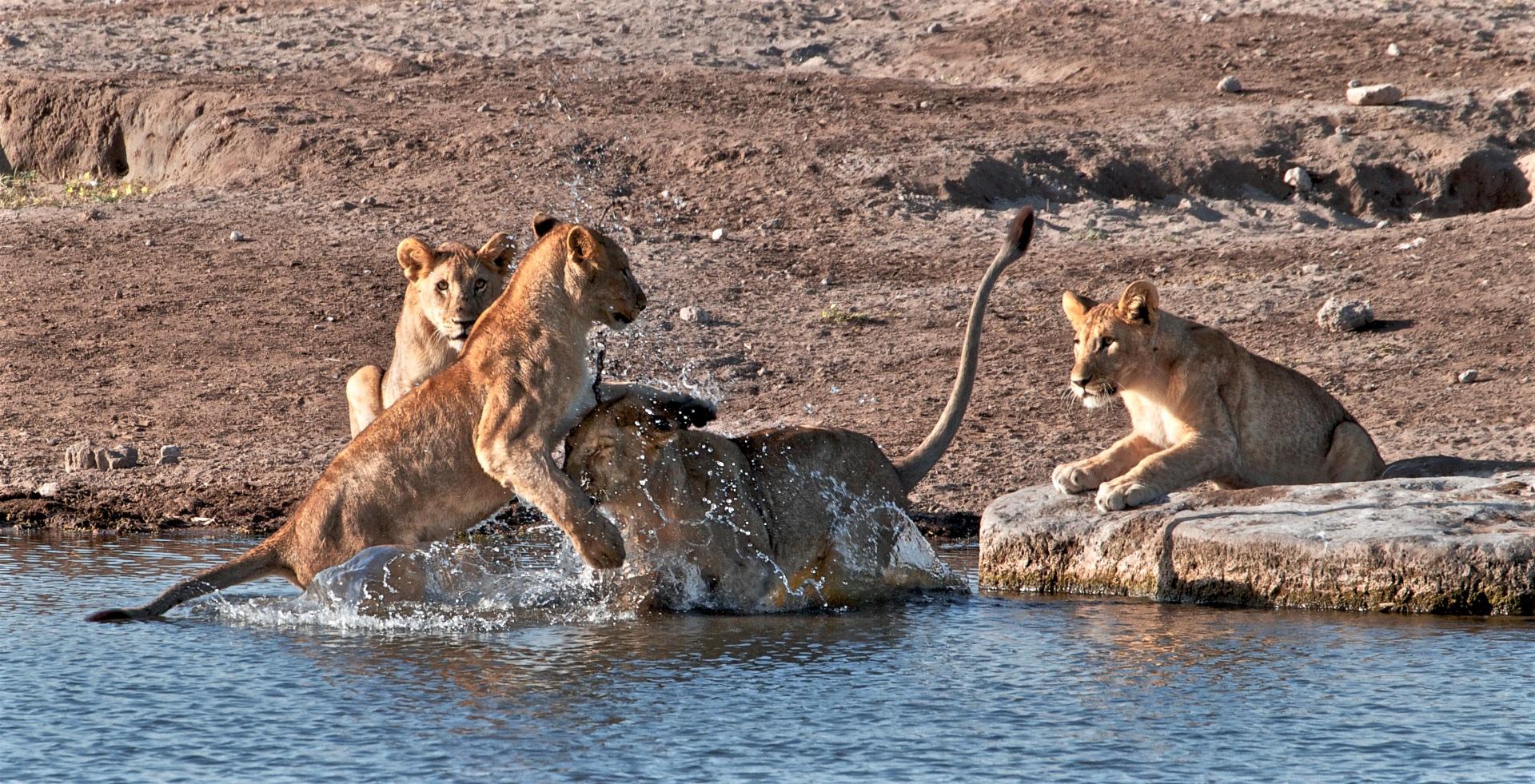 Lvíčata u napajedla