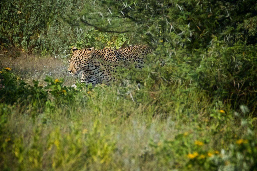 Gepard v NP Etosha